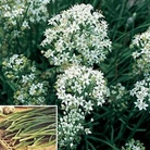 Herb Seeds - Garlic Chives