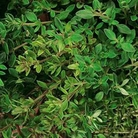 Herb Seeds - Olde English Thyme