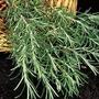 Herb Seeds - Rosemary