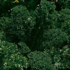 Vegetable Seeds - Kale Dwarf Green Curled