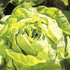Vegetable Seeds - Lettuce All Year Round