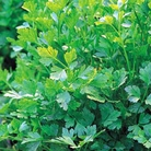 Herb Seeds - Parsley French Plain Leaves