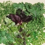 Salad Seeds - Salad Leaves Niche Mixed