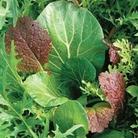 Salad Seeds- Niche Oriental Mixed