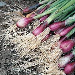 Vegetable Seeds - Spring Onion Lilia