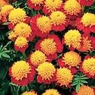 Marigold - French Marigold Cat's Eyes Seeds