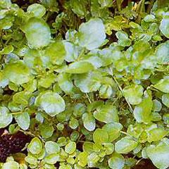 Herb Seeds - Watercress