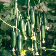 Vegetable Seeds - Cucumber Cucino F1 Hybrid