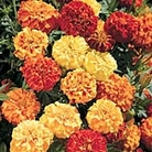 Marigold - Afro-French F1 Super Hybrid Double Mix Seeds