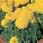 Marigold - African Yellow Galore Seeds