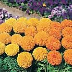 Marigold - African Sumo Mix Seeds