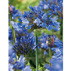 Agapanthus Blue - Pack of 3 Bulbs
