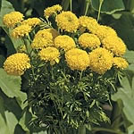 Marigold - African Lemon Supreme Seeds