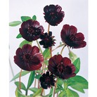 Spring Bulbs - Chocolate Cosmos Atrosanguineus-1  Bulb