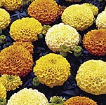 Marigold African F1 Marvel Yellow Seeds
