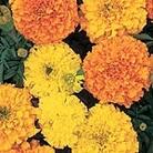 Marigold - African Crackerjack Mix Seeds