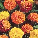 Marigold - French Boy-O-Boy Mix Seeds