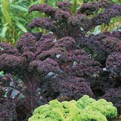 Kale Scarlet Seeds