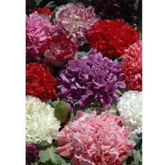 Flower Seeds - Papaver Ooh La La