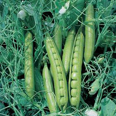 Pea Greensage Seeds