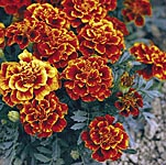 Marigold - French Queen Sophia Seeds
