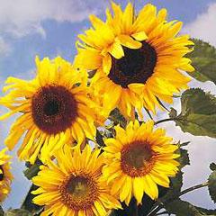 Flower Seeds - Sunflower Russian