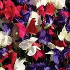 Flower Seeds - Sweet Pea (Lathyrus ) Flying The Flag