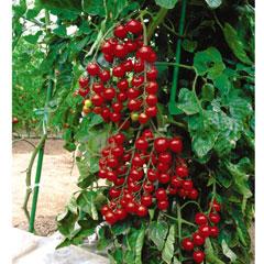 Fruit Seeds -Tomato Sun Cherry