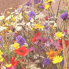 Flower Seeds - Wild Flower Cornfield