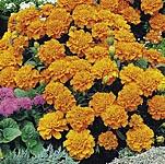 Marigold - French Orange Winner Seeds
