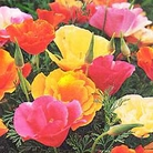 Flower Seeds - Californian Poppy Monarch Mix