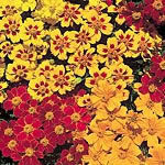 Marigold - French Fantasia Mix Seeds