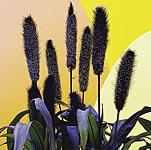 Millet Ornamental Purple Baron Seeds