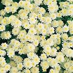 Chrysanthemum parthenium Seeds - Vanilla