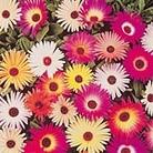 Mesembryanthemum Sparkles Mix Seeds