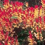 Mina Lobata Seeds