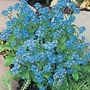 Forget-Me-Not Seeds - Royal Blue