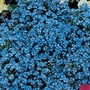 Forget-Me-Not Spring Symphony Blue Seeds