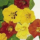 Nasturtium Jewel Mix Seeds