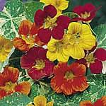 Nasturtium Jewel of Africa Mix Seeds