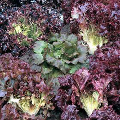 RHS Seeds - Lettuce Colour Shades Mixed