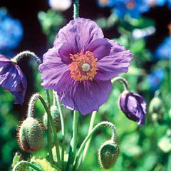 Flower Seeds - Poppy Hensol Violet