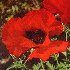 Flower Seeds - Poppy Orientale Brilliant