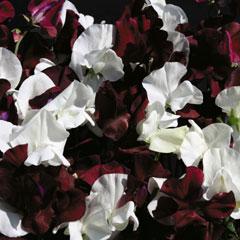 Flower Seeds-Sweet Pea (Lathyrus ) Night & Day