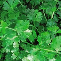 Herb Seeds - Cutting Celery