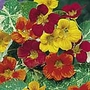 Nasturtium Jewel of Africa Mix Seeds (Tropaeolum majus)