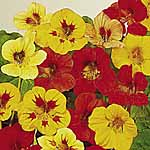 Nasturtium Little Gem Mix Seeds
