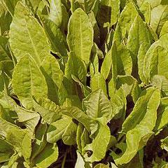 Herb Seeds - Sorrel