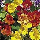 Nasturtium Tropical Mix Seeds