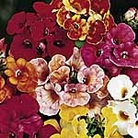 Nemesia Carnival Mix Seeds